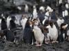 Антарктида, хохлатые пингвины
