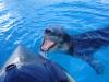 Антарктида, морской леопард