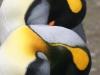 Антарктида, королевские пингвины