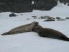 Антарктида, тюлени