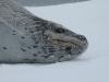 Антарктида, тюлень