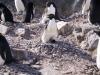 Антарктида, пингвины