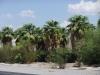 США, пальмы оазиса