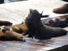 Набережная Сан-Франциско, пирс 39, лежбище морских львов