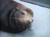 Santa Cruz, морской лев