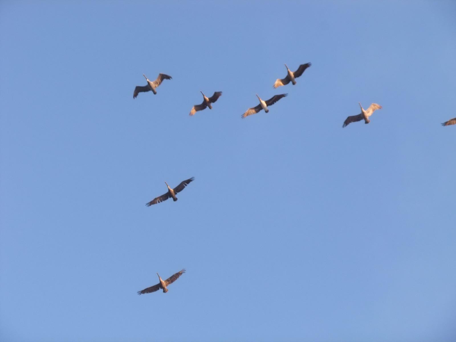 США, Тихий океан, пеликаны