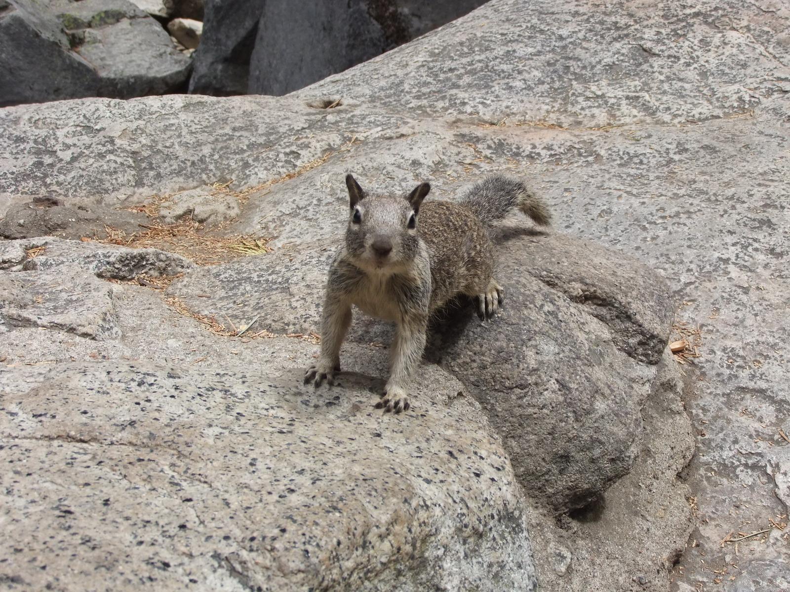 США, Виды Yosemite, белка