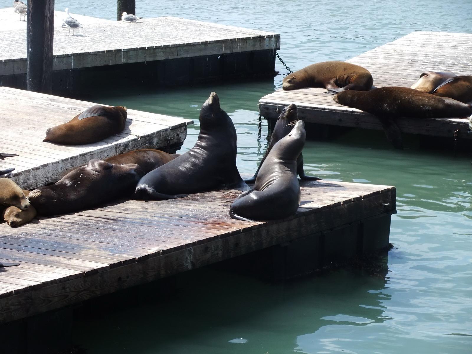 США, Сан-Франциско, набережная, пирс 39, морские львы