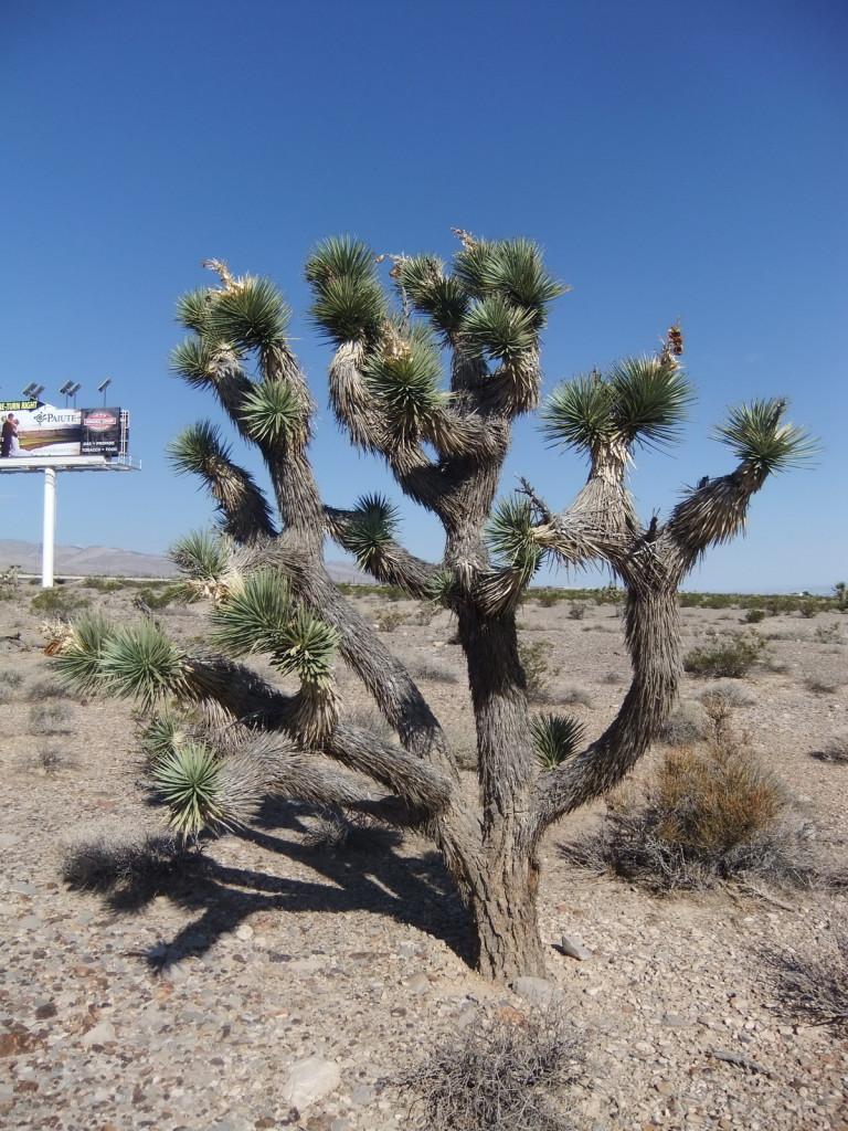 США, пустыня штата Nevada, кактус